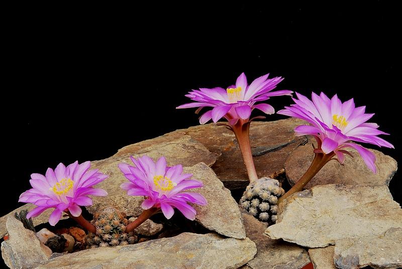 Floraisons de Cactus chez Boun  15310