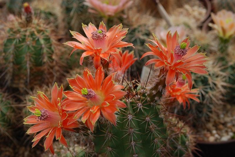 Floraisons de Cactus chez Boun  15410