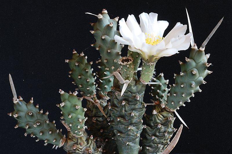 Floraisons de Cactus chez Boun  16710