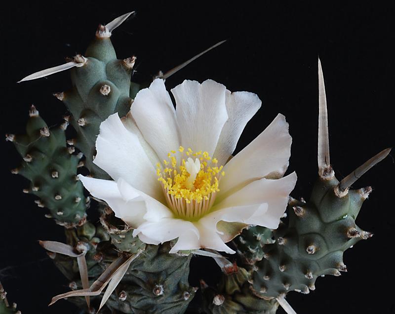 Floraisons de Cactus chez Boun  16810
