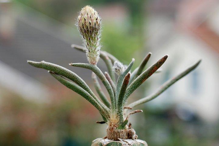 Floraisons de Cactus chez Boun  17410