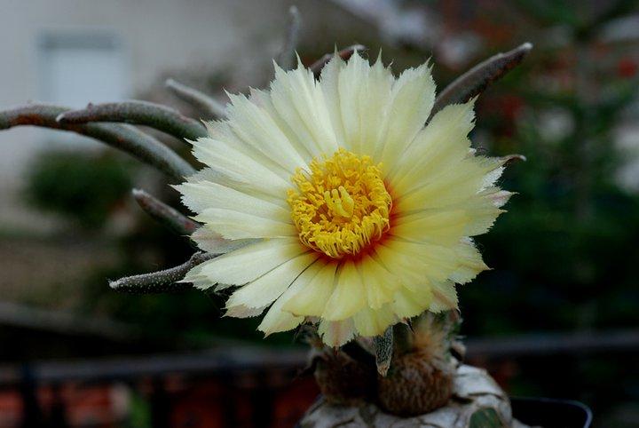Floraisons de Cactus chez Boun  17510