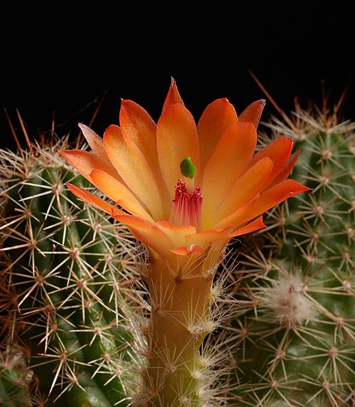 Floraisons de Cactus chez Boun  2011