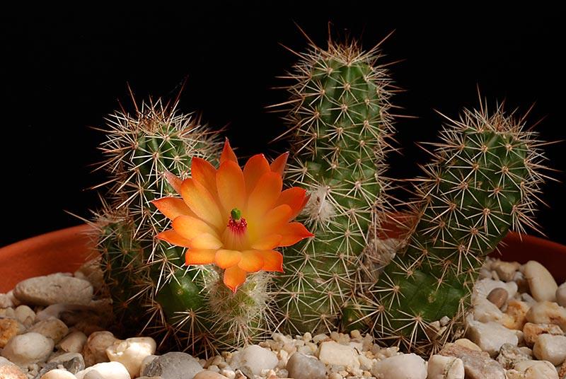 Floraisons de Cactus chez Boun  2111