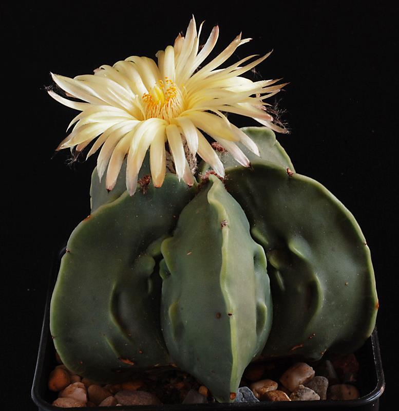 Floraisons de Cactus chez Boun  4112