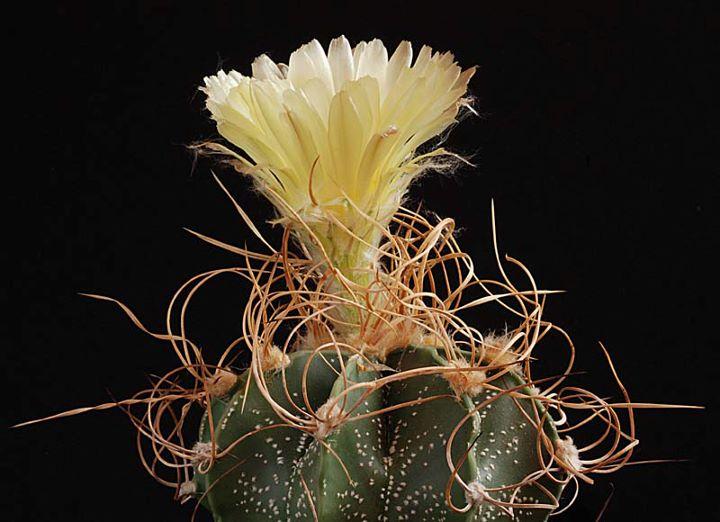 Floraisons de Cactus chez Boun  4211