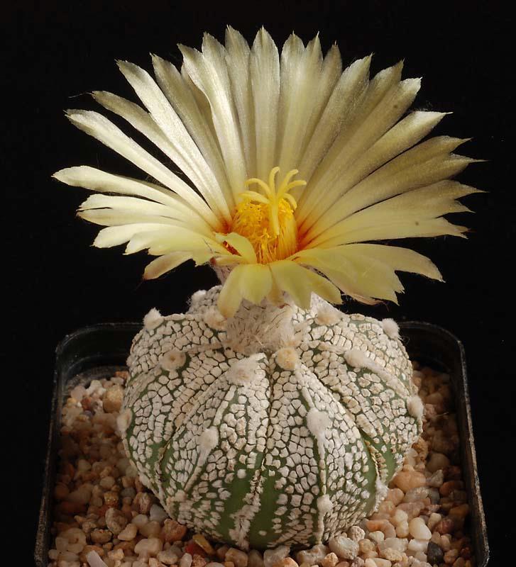 Floraisons de Cactus chez Boun  4711