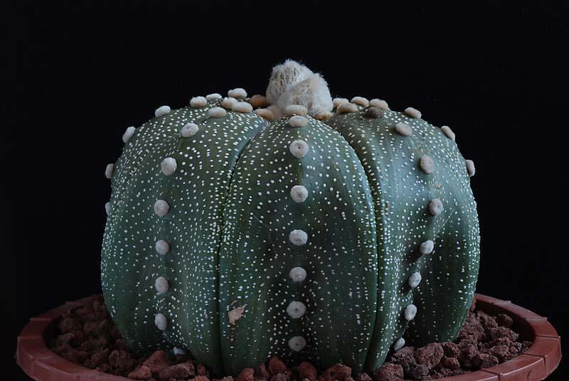 Floraisons de Cactus chez Boun  5511