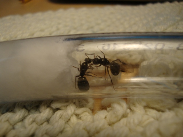 Journal De Bord (Camponotus Novaeboracensis, Lasius Sp) - Polyman Dsc03928
