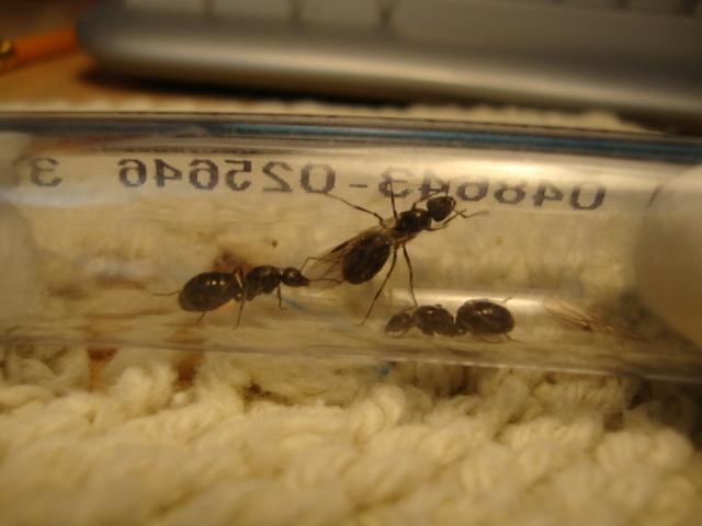 Journal De Bord (Camponotus Novaeboracensis, Lasius Sp) - Polyman Dsc03930
