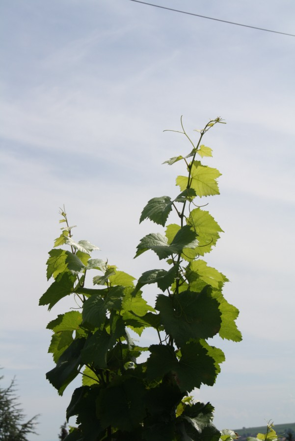 Wangen et son sentier viticole Wangen17
