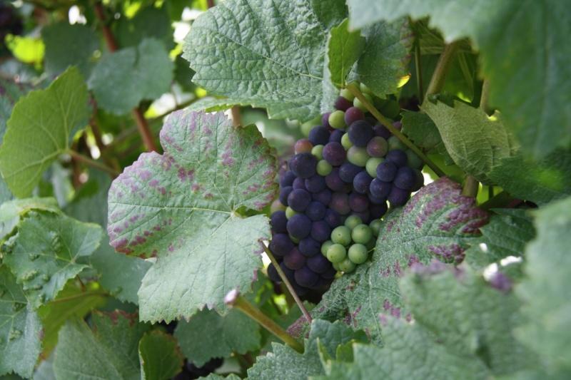 viticole - Wangen et son sentier viticole Wangen18