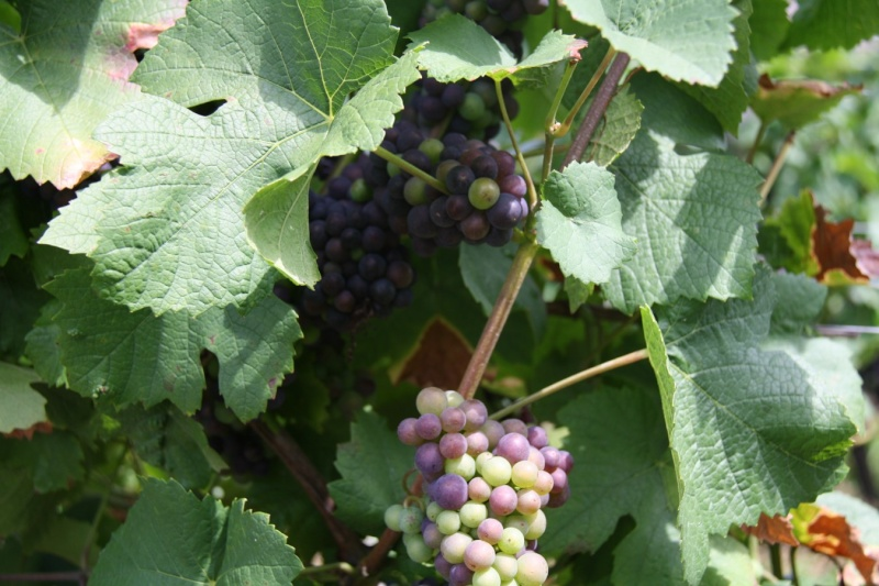 viticole - Wangen et son sentier viticole Wangen19