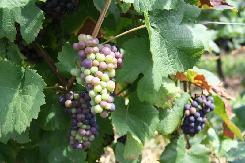 viticole - Wangen et son sentier viticole Wangen20