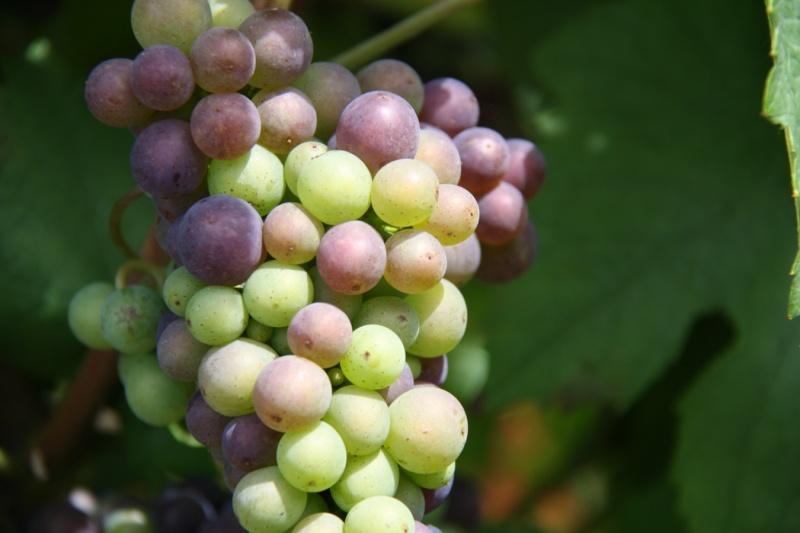 viticole - Wangen et son sentier viticole Wangen21