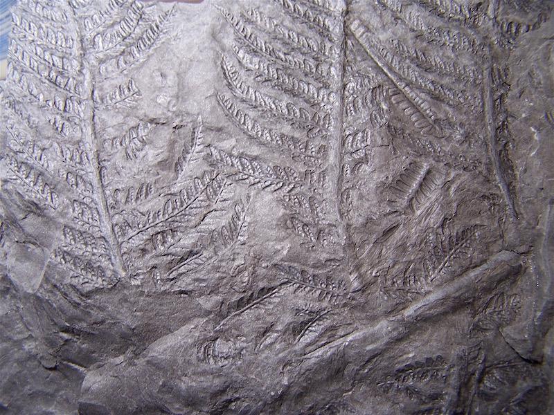Senftenbergia grunerii 100_0811