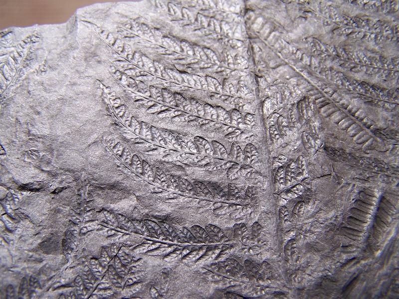 Senftenbergia grunerii 100_0812