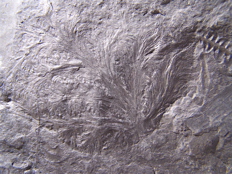 Callipteridium   Weiss , 1870 . 100_1010