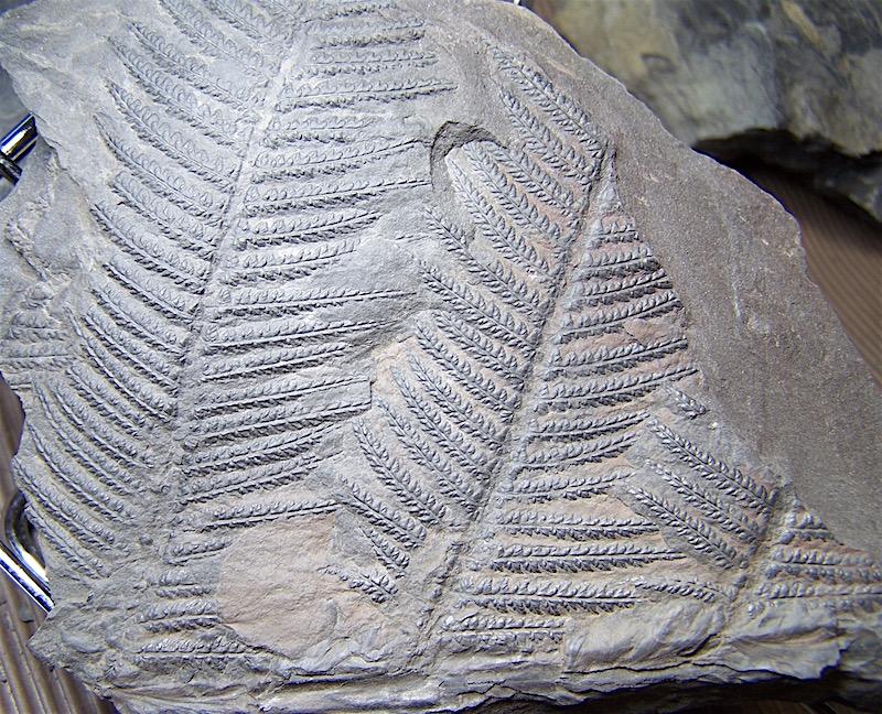 Senftenbergia grunerii 100_1415