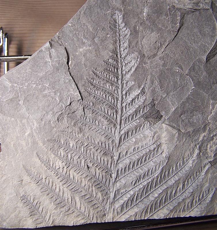Senftenbergia grunerii 100_1518