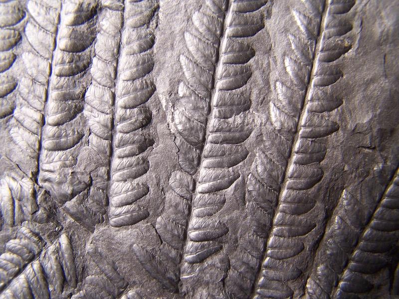 Oligocarpia Goeppert , 1841. 100_1616
