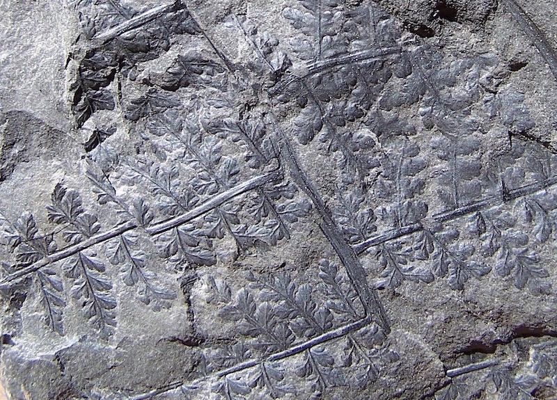 Dicksonites Sterzel , 1881. 100_2214