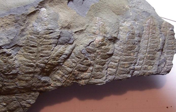 Oligocarpia Goeppert , 1841. 100_6710