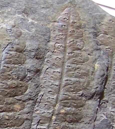 Oligocarpia Goeppert , 1841. 100_6711