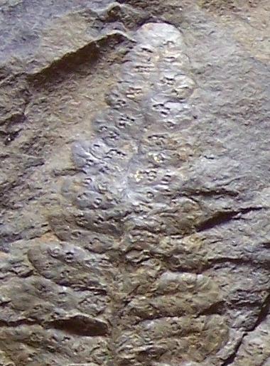 Oligocarpia Goeppert , 1841. 100_6712