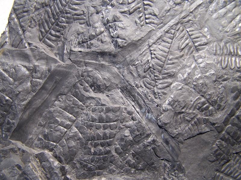 Eusphenopteris rotundiloba, Eusphenopteris talensii 210