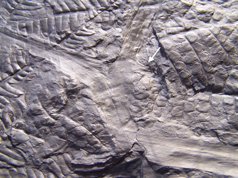 Eusphenopteris rotundiloba, Eusphenopteris talensii 310