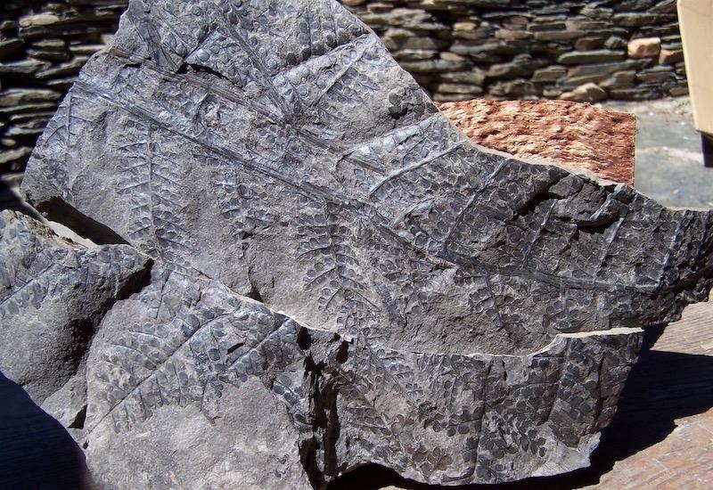 Eusphenopteris rotundiloba, Eusphenopteris talensii 410