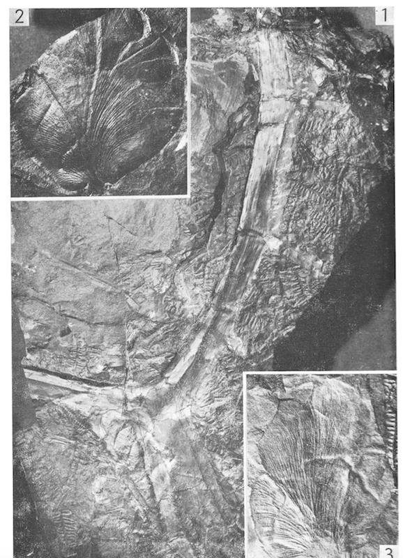 Callipteridium   Weiss , 1870 . Captur13