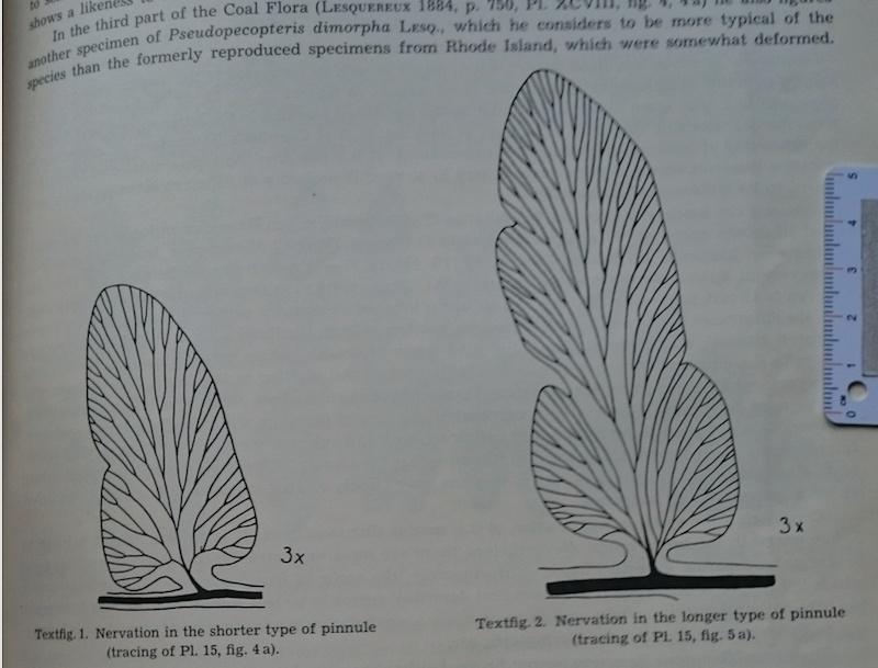 Sphenopteris ( Brongniart ) Sternberg , 1825 .  Captur17