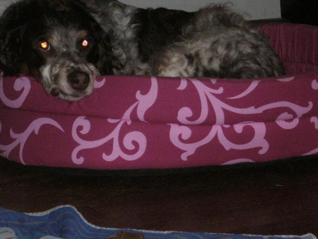 SALLY... petite épagneul, femelle, 8 ans P1020012