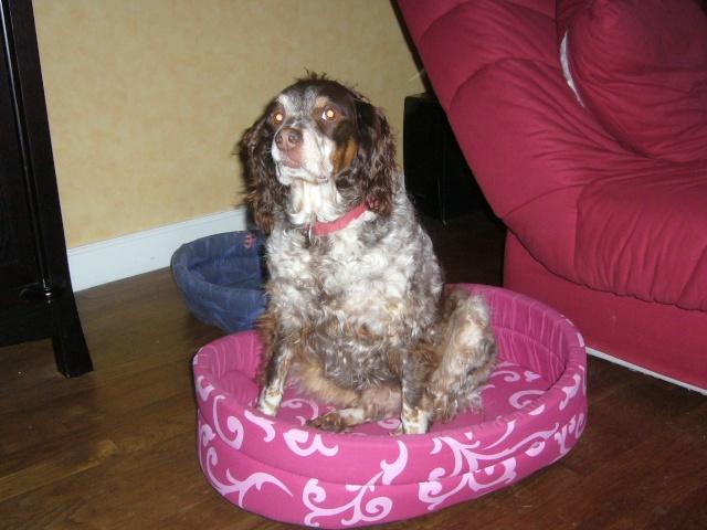 SALLY... petite épagneul, femelle, 8 ans P1020110