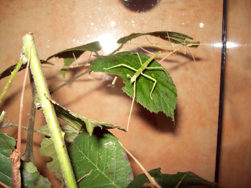 Medauroidea extradentata  P.S.G. n° 5 100_0210