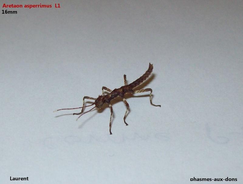 Aretaon asperrimus P.S.G. n° 118 100_1110