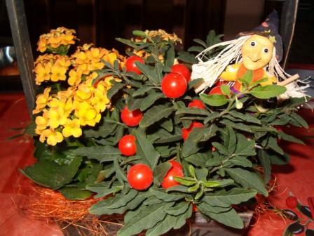 Plante de halloween, comment la conserver? Hallow11