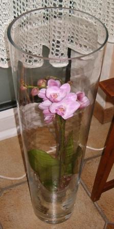 Phalaenopsis Noal_210