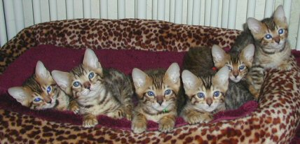 قط  الماو المصرى (EgyptianMau) -أجمل قط فى العالم واعرقهم نسب وتاريخ 1all6i10