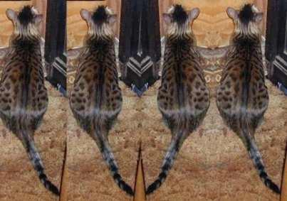 قط  الماو المصرى (EgyptianMau) -أجمل قط فى العالم واعرقهم نسب وتاريخ Chandr10