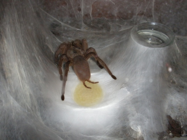 [IN] Chilobrachys huahini Mygale31