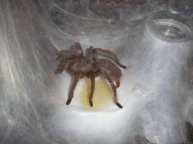 [IN] Chilobrachys huahini Mygale32