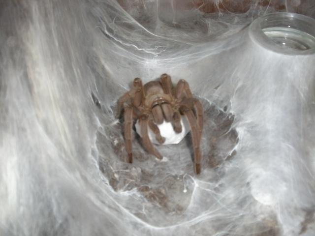 [IN] Chilobrachys huahini Mygale34