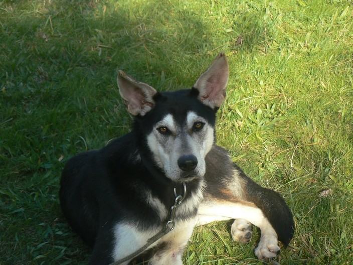 Twister - x husky (f) 1 an Compatible : Chiens mâles, Chiens femelles (38)ADOPTEE P1180010