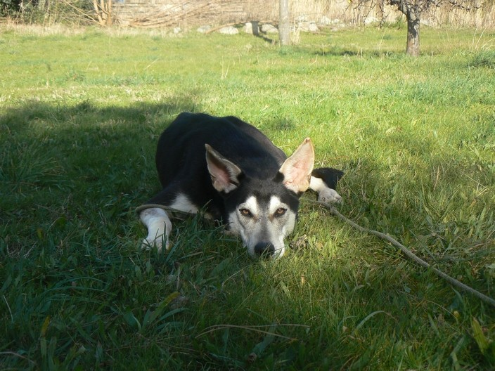 Twister - x husky (f) 1 an Compatible : Chiens mâles, Chiens femelles (38)ADOPTEE P1180011