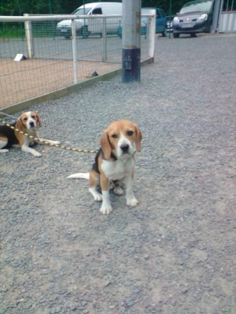 CAPORAL, beagle mâle, 18 mois (Pays de Loire) P1706010