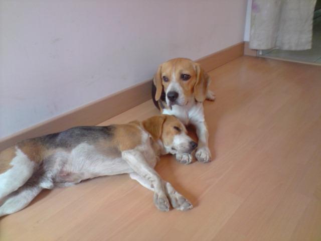 CAPORAL, beagle mâle, 18 mois (Pays de Loire) P2107013