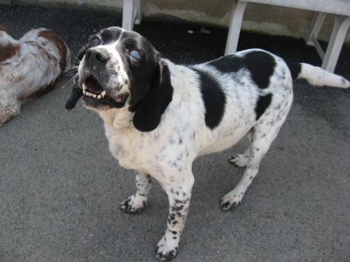 PRESCOTT, croisé beagle mâle, 9 ans (85) Presco10